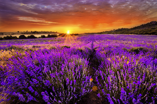 Relax and enjoy lavender fields with the sweet glow of honey
